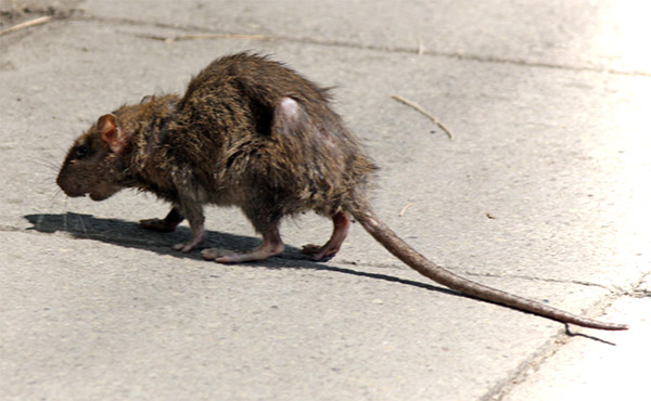 Rat carrying diseases