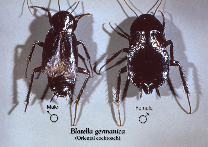 An image of a male and female oriental cockroach.