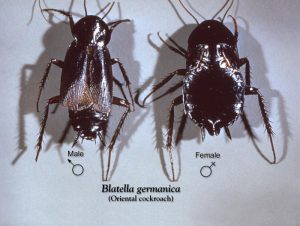 Two oriental cockroaches, Blatella orientalis.