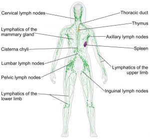 Diagram of location of major lymph nodes in the human body.