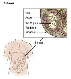 Location of the spleen in the human body (see insert and arrow).