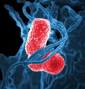 Klebsiella pneumoniae bacteria (elongated cells) and parts of a white blood cell