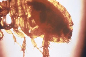 Image of an oriental rat flea with blood in the abdomen