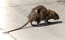 A rat walks on a sidewalk.