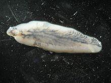 Image of a liver fluke, Fasciola hepatica